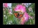 Ленкоранская акация или альбиция в США. PERSIAN SILK TREE.