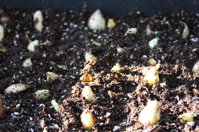 Как получить дополнительный посадочный материал из одной лилии