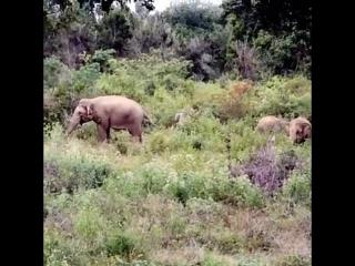 Дикие слоны на Шри-Ланке