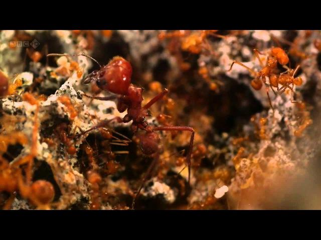 BBC: Планета муравьёв - Взгляд изнутри