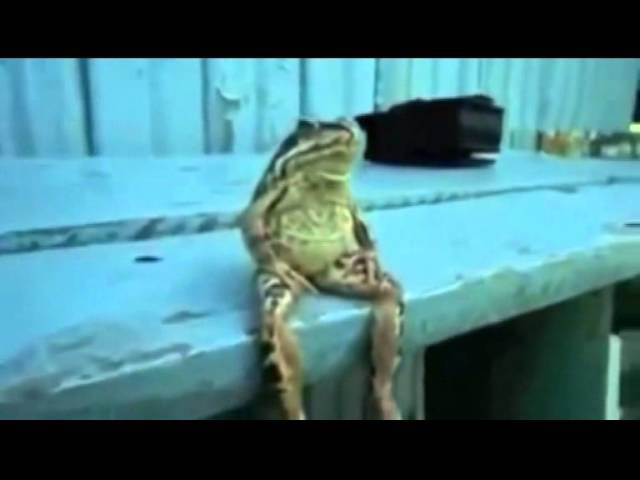 Лампасы - Лягушки