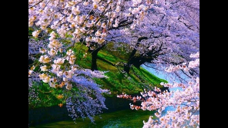 TOKYO JAPAN Cherry Blossoms in Tokyo 東京の千鳥ヶ淵の桜(sakura) 日本の桜 東京観光 ディスカバーニッ12509