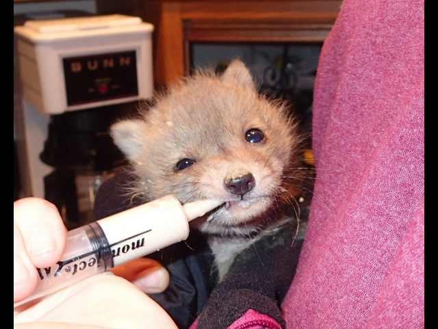 Second Chance For A Baby Fox (part 1)