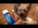Чем и Как чистить зубы собаке - Чистим зубы Йорку, зоосалон Dogguru