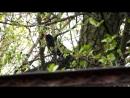 чёрный дрозд поёт