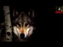 Волк стих за душу берет