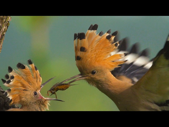 HOOPOE / Upupa epops / Bird Feeding Their Young in SLOW MOTION
