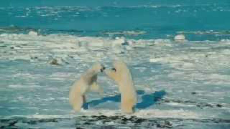 Ağ ayılar dondurucu sularda uzun müddət necə üzür