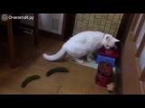Коты против огурцов и кобачков!!!