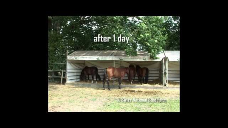Опыт стабунивания жеребцов на конном заводе в Швейцарии