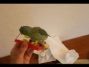 Cute Parrotlet Plays With Spinning Toy