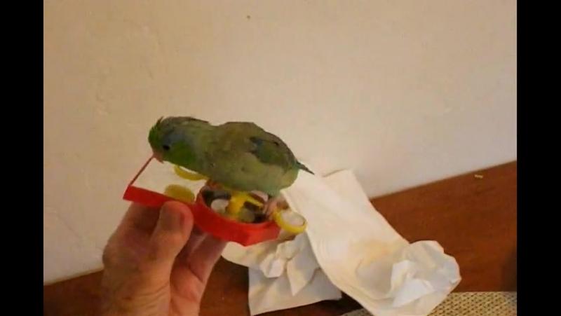 Cute Parrotlet Plays With Spinning Toy » Freewka.com - Смотреть онлайн в хорощем качестве