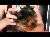 Как поставить уши щенку йорка