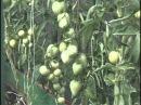 Советы по выращивание помидоров в теплице