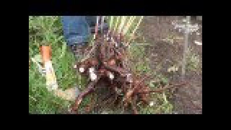 Пересадка пиона. Сайт Садовый мир