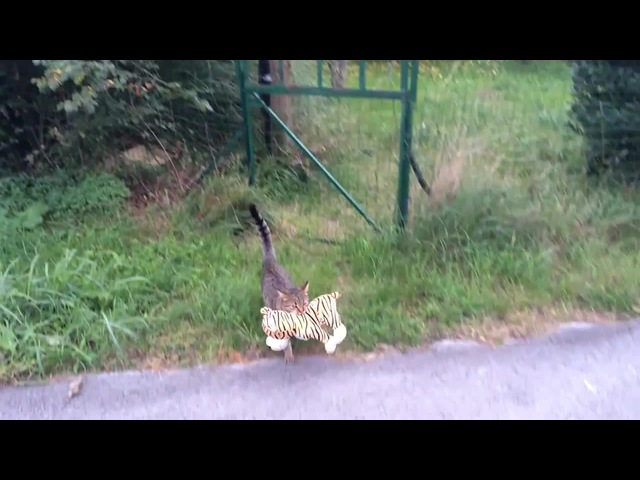 Cat stealing tiger ) (My cat went to the neighbours to borrow a tiger plush toy ))