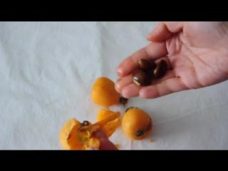 Мушмула японская или Локба - субтропический плод.