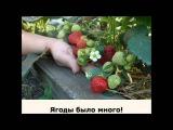 5 секретов выращивания земляники