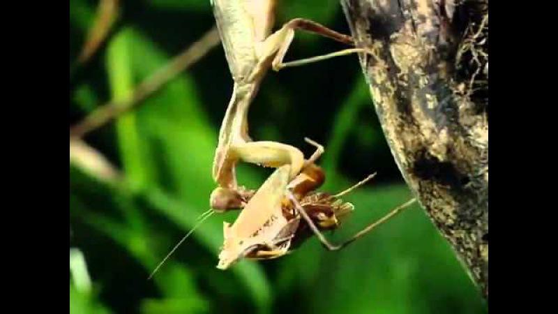 Самка богомола после спаривания поедает самца