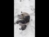 Панда в национальном парке США пришла в восторг от снежной бури
