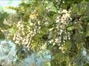 Валерий Агафонов Белой акации гроздья душистые