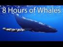 8 часов песен китов на большой глубине для установления глубокого раппорта и последующего соблазнения