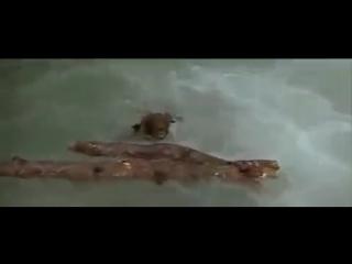 Душещипательная погоня пумы за медвежонком со счастливым финалом. СМОТРЕТЬ ВСЕМ!!!