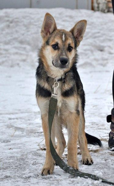 Это Амур, ласковый и застенчивый щенок, ему около 7 месяцев, и эти месяца дались...