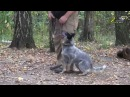 Дрессировка собак, команда рядом, зачем задирать собаке голову вверх
