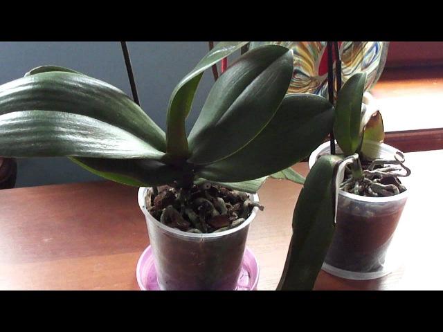 Почему после покупки листья орхидеи опускаются...