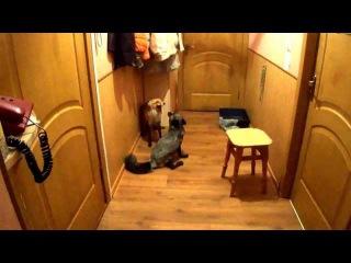 Домашние лисы,кто в доме главный?