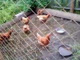 жадная курица