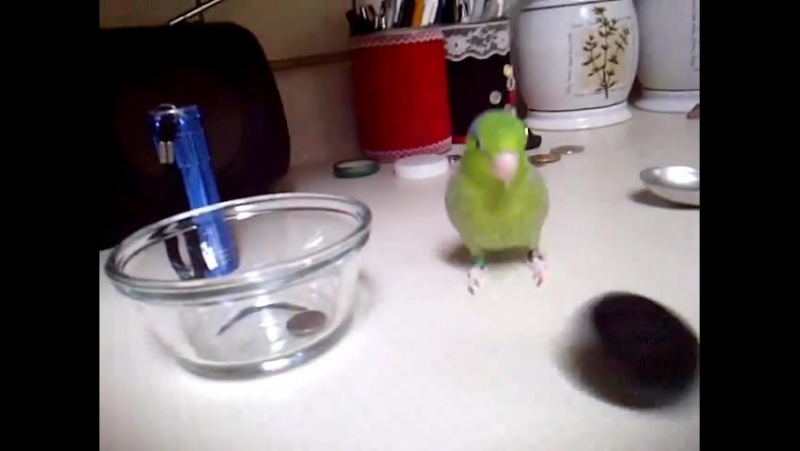 Cute Parrotlet Playing and making noise » Freewka.com - Смотреть онлайн в хорощем качестве