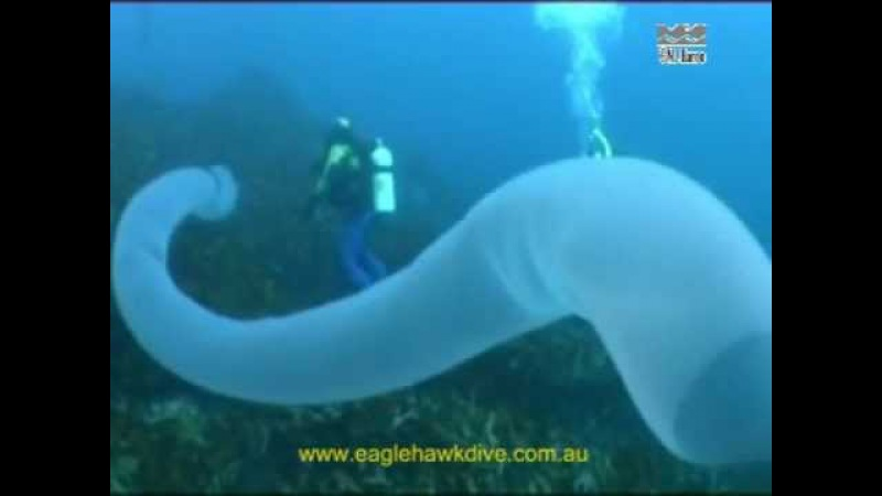 Giant Pyrosome and Salps - pelagic sea squirts