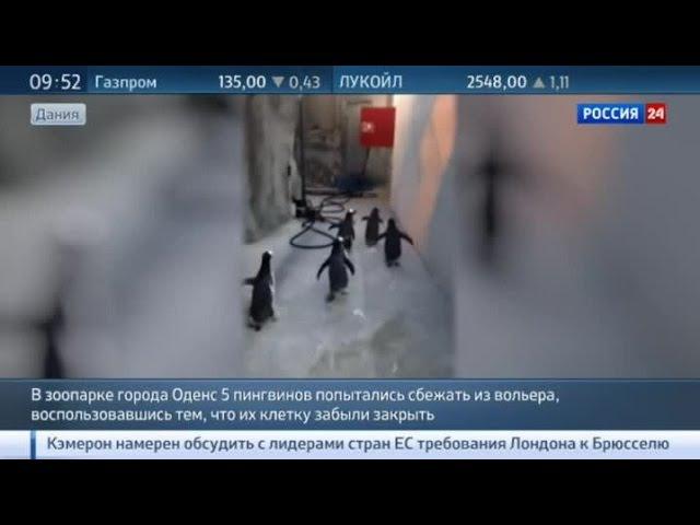 Улыбаемся и машем дерзкий побег пингвинов из датского зоопарка