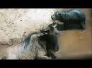 Самая необычная и трогательная сцена в мире животных