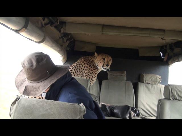 Cheetah in the Car: Face to Face with a Cheetah in the Masai Mara