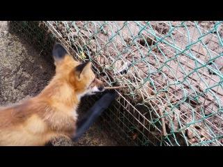 Зао Fox Village Shishamo Hen 2015/08/14 / 蔵王キツネ村 ししゃも編 2015/08/14