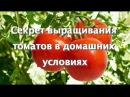 Секрет выращивания томатов в домашних условиях