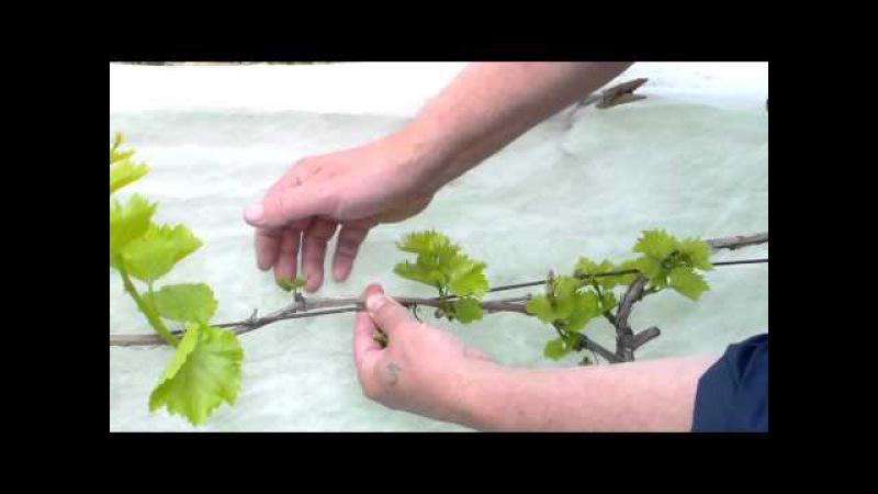 Обломка побегов на винограднике