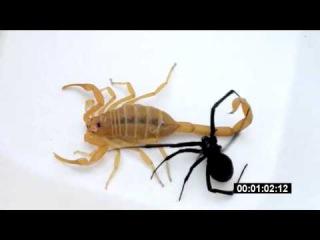 Скорпион vs черная вдова 2 | Scorpion vs Black Widow 2