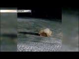 Остров Врангеля. Медведица съела взрывчатку (23.12.2015 г.)