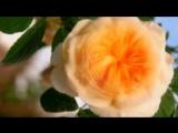 Футаж Роза распускается 3