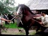 Настоящая цыганская лошадь!