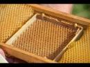 Вывод пчелиных маток с помощью джентерского сота. Хозяйство А.А. Цветкова.