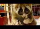 Cute Slow Loris eating a Rice Ball| Funny Animals