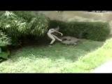 В Мексиканском зоопарке девушка напугала крокодила 02 07 2015 новости недели
