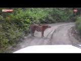 В Приморском лесу тигр на дороге не давал проехать машине 02 07 2015 новости недели
