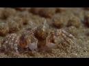 Sand Bubbler Crabs Making Sediment Balls on an Australian Beach From BBC's Blue Planet HD
