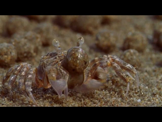 Sand Bubbler Crabs Making Sediment Balls on an Australian Beach (From BBC's Blue Planet) - HD